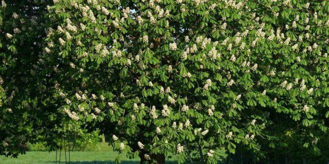 Kastanienbaum klein halten