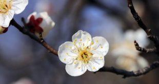 Zwetschgenbaum veredeln Tipps
